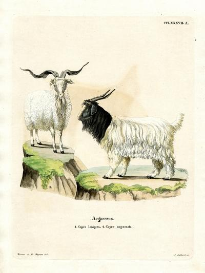Cashmere Goat--Giclee Print