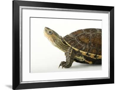 Caspian Pond Turtle, Mauremys Caspica-Joel Sartore-Framed Photographic Print