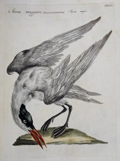 Caspian Tern (Sterna Major)--Giclee Print