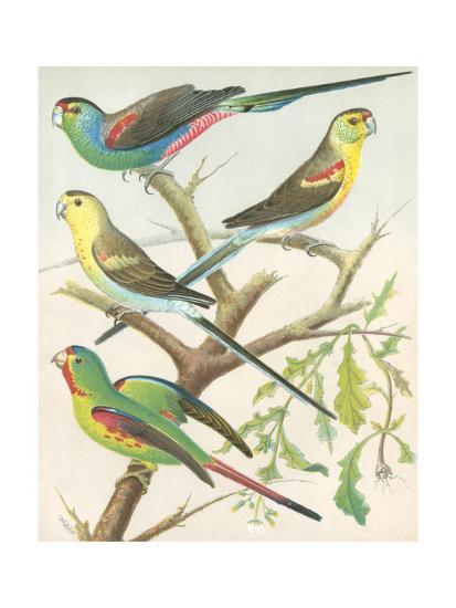 Cassell's Parakeets IV-Cassell-Art Print