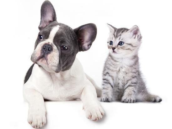 Cat and Dog, British Kitten and  French Bulldog Puppy-Lilun-Photographic Print