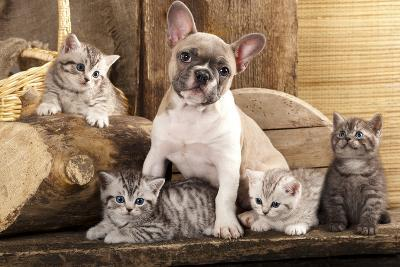 Cat And Dog, British Kittens And French Bulldog Puppy In Retro Background-Lilun-Photographic Print