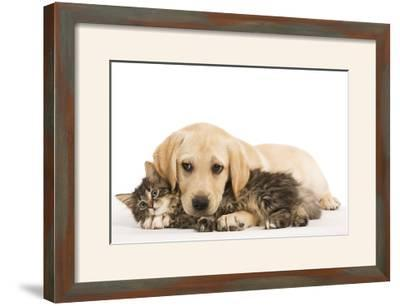 Cat and Dog Labrador Puppy and Norwegian Forest Cat Kitten--Framed Photographic Print