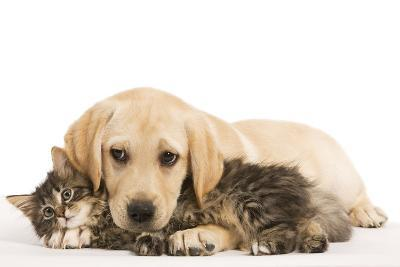 Cat and Dog Labrador Puppy and Norwegian Forest Cat Kitten--Photographic Print