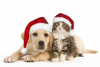 Cat and Dog Labrador Puppy and Norwegian Forest--Photographic Print