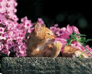 Cat And Pink Flowers