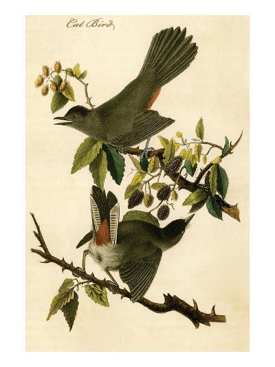 Cat Bird-John James Audubon-Art Print