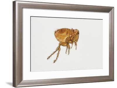 Cat Flea (Ctenocephalides Felis), Pulicidae--Framed Giclee Print
