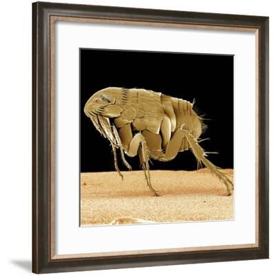 Cat Flea--Framed Photographic Print