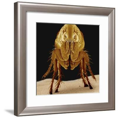 Cat Flea--Framed Photographic Print