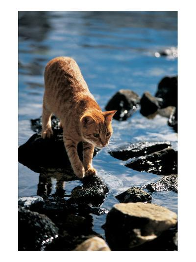 Cat Going From Stone To Stone--Art Print