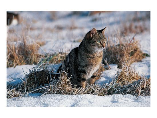 Cat Hunting In The Snow--Art Print
