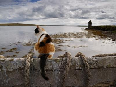 Cat Is Perched on a Wall, Overlooking the Bay in Shapinsay-Jim Richardson-Photographic Print