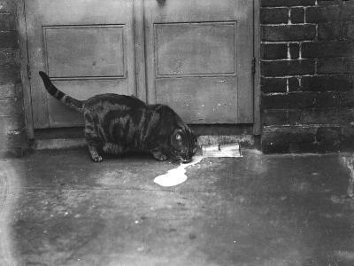 Cat Laps Up Spilt Milk--Photographic Print