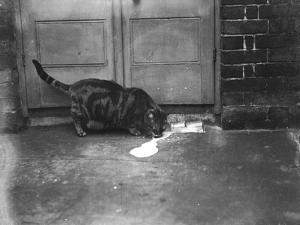 Cat Laps Up Spilt Milk