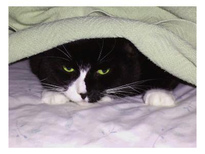 Cat Looking Out from under Blanket-Rich LaPenna-Giclee Print