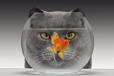 Cat Looks at Goldfish in Bowl--Photographic Print