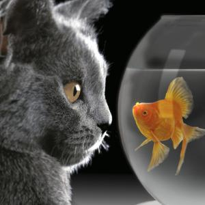 Cat Looks at Goldfish in Bowl