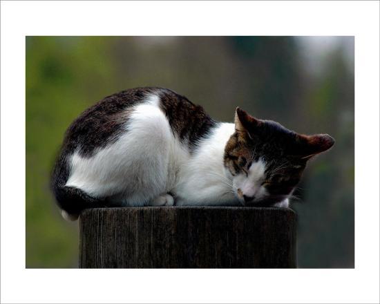 Cat Nap-Stephen Lebovits-Giclee Print