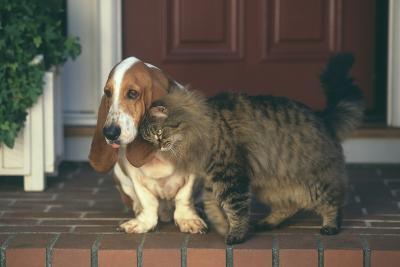 Cat Nuzzling Basset Hound-DLILLC-Photographic Print