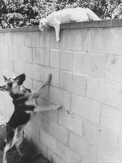 Cat Owned by Olympic Track Star Harold Connolly, on Wall Hissing at Police German Shepherd-Bill Eppridge-Photographic Print