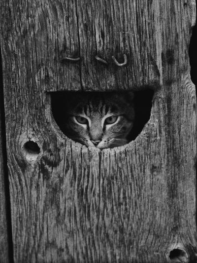 Cat Peeking Out from Barn-Josef Scaylea-Photographic Print