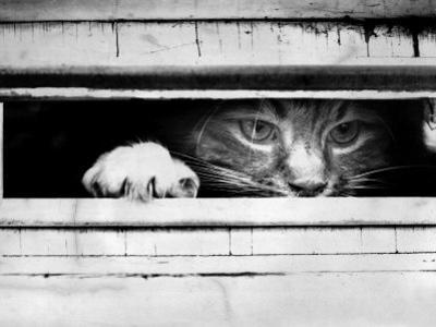 Cat Peers out of Letter Box