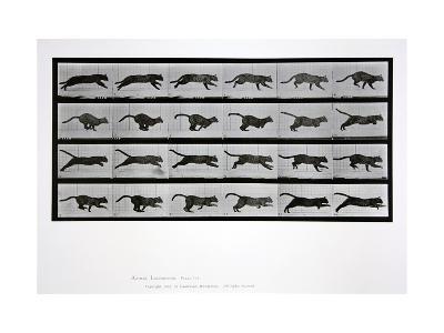 Cat Running, Plate 720 from 'Animal Locomotion', 1887-Eadweard Muybridge-Giclee Print