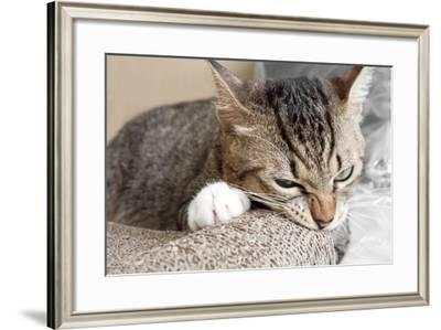 Cat Scratching and Biting.Claws on the Scratching Post- Yimmyphotography-Framed Photographic Print