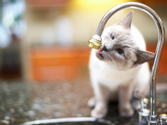 Cat Sitting on Counter and Licking Drops of Water from Kitchen Faucet--Photographic Print