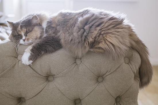 Cat Sleeping on the Couch- Gipsy-Photographic Print