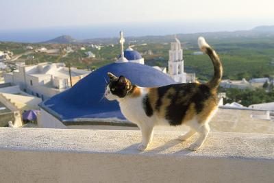 Cat,Tortoiseshell and White, Town in Background--Photographic Print