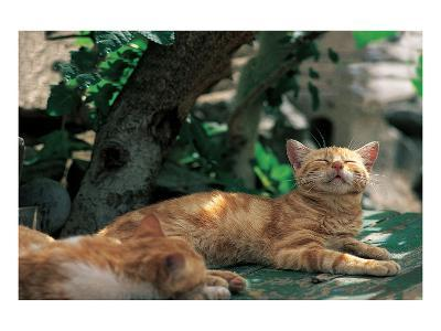 Cat Waking From Midday Rest--Art Print