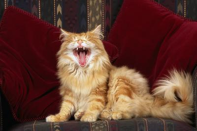 Cat Yawning-DLILLC-Photographic Print