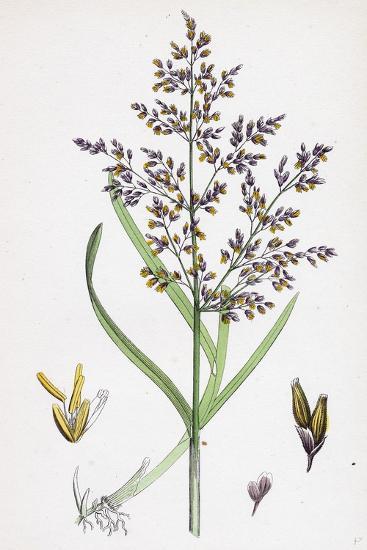 Catabrosa Aquatica Water Whorl-Grass--Giclee Print