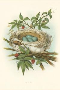 Catbird Nest and Eggs