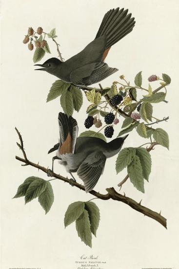 Catbird--Giclee Print