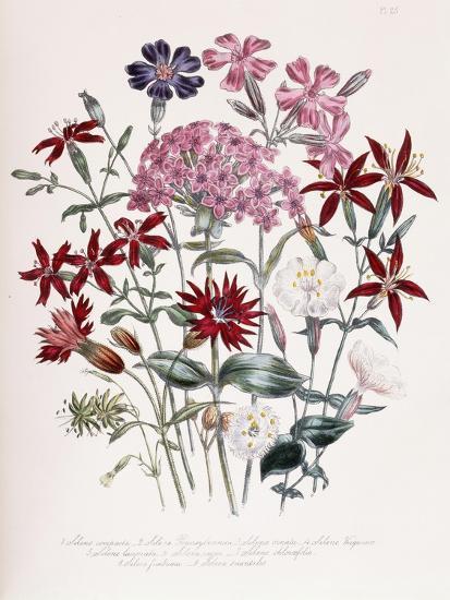 Catchfly-Jane W^ Loudon-Giclee Print
