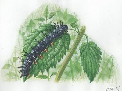 Caterpillar of European Peacock Butterfly Inachis Io--Giclee Print