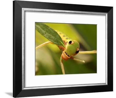 Caterpillar of the Spicebush Swallowtail Butterfly, Arlington, Massachusetts, USA-Darlyne A^ Murawski-Framed Photographic Print