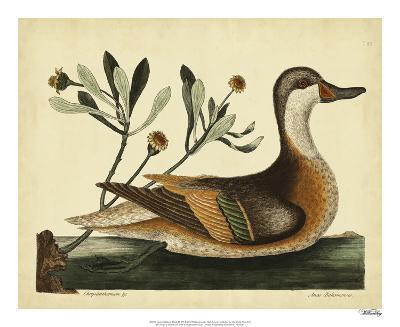 Catesby Ilatheria Duck, Pl. T93-Mark Catesby-Giclee Print