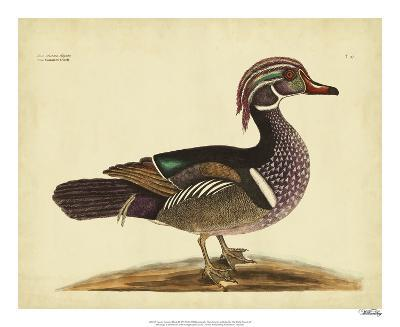 Catesby Summer Duck, Pl. T97-Mark Catesby-Giclee Print
