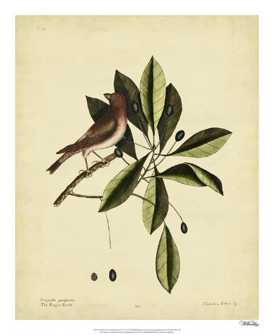 Catesby The Purple Finch, Pl. T41-Mark Catesby-Giclee Print