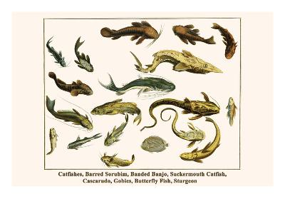 Catfishes, Barred Sorubim, Banded Banjo, Suckermouth Catfish, Cascarudo, Gobies, etc.-Albertus Seba-Art Print