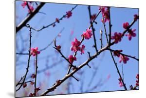 Almond Blossom, Berlin-Marzahn, Gardens of the World, Japanese Garden by Catharina Lux