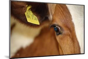 Farm, Cow, Eye, Ear Mark, Close-Up by Catharina Lux
