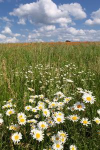 Schleswig-Holstein, Field with Camomile Blossoms by Catharina Lux