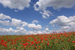 Schleswig-Holstein, Field with Poppies by Catharina Lux