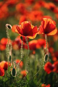 Schleswig-Holstein, Poppy Field by Catharina Lux