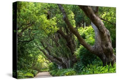 South Africa, 'Kirstenbosch', Avenue of Camphorwood